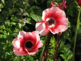 Anemone (Red-White) (1)