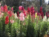Antirrhinum Majus (Mixed)