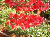 Antirrhinum Majus (Red) (1)
