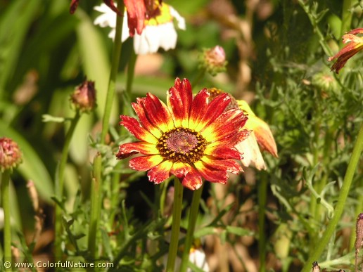 Chrysanthemum Carinatum (Red-Yellow)