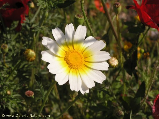 Chrysanthemum Coronarium (Orange-White) (1)