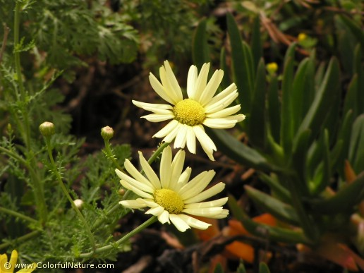 Chrysanthemum Coronarium (Yellow)