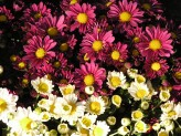 Chrysanthemum (Mixed)