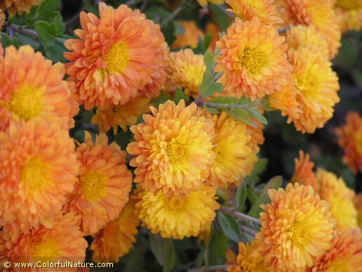 Chrysanthemum (Orange) (2)