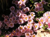 Chrysanthemum (Pink-Yellow)