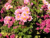 Chrysanthemum (Pink-Yellow) (2)