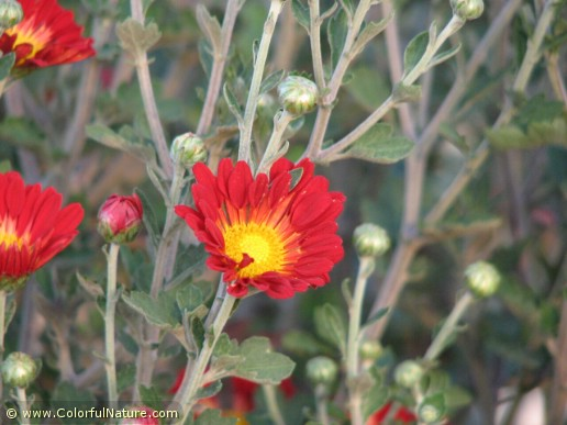 Chrysanthemum (Red-Yellow) (5)