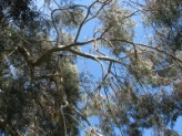 Eucalyptus Parvifolia (Small Leaved Gum)