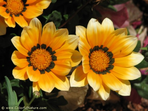 Gazania Krebsiana (Orange-Black-White)