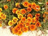Gazania Krebsiana (Orange-Black) (3)