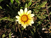 Gazania Longiscapa (White-Yellow)