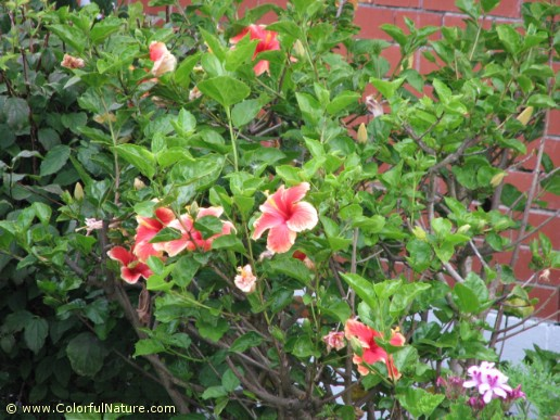 Hibiscus Rosa Sinensis (Red-Yellow)