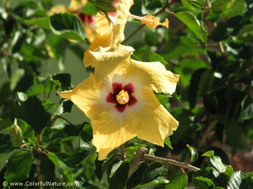 Hibiscus Rosa Sinensis (Yellow-White-Red)