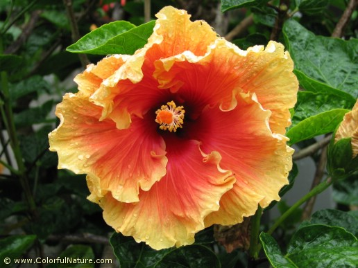 Hibiscus (Orange-Red) (2)