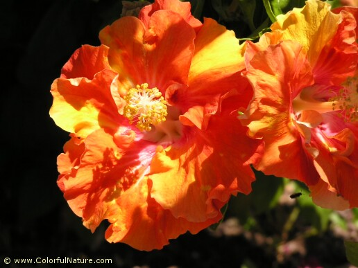 Hibiscus (Orange) (2)