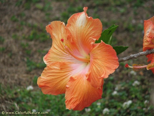 Hibiscus (Orange) (3)