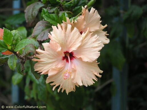 Hibiscus (Pink-Red) (1)