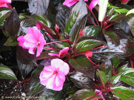 Impatiens New Guinea (Pink) (3)