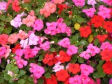 Impatiens Sultanii (Mixed) (1)