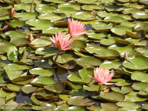 Nymphaea (Pink)