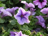 Petunia Serpina (Purple)
