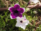 Petunia (White-Purple) (3)