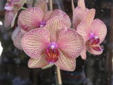 Phalaenopsis Baldans Kaleidoscope Golden Treasure