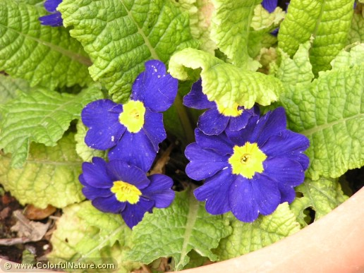 Primula Cultivars (Blue-Yellow)
