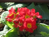 Primula Cultivars (Red-Yellow)
