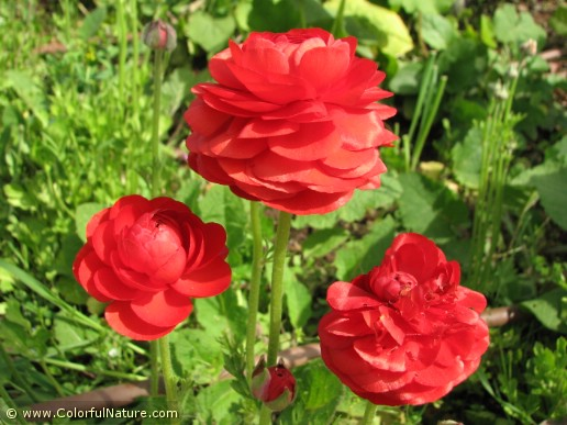 Ranunculus (Red) (2)