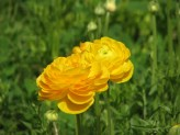 Ranunculus (Yellow) (4)