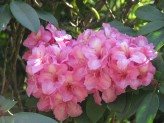 Rhododendron Alice