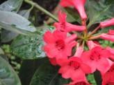 Rhododendron (Pink) (2)