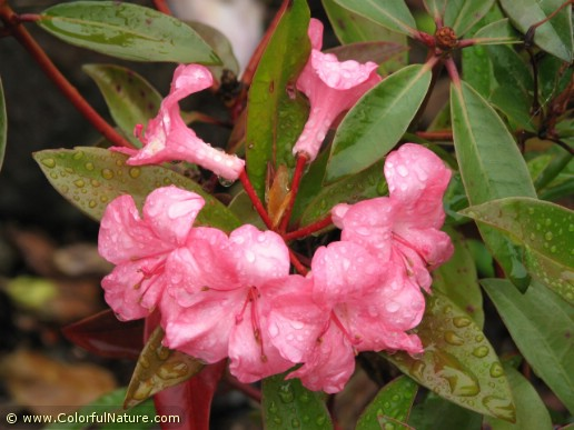 Rhododendron (Pink) (5)