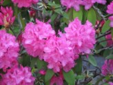 Rhododendron (Purple) (1)