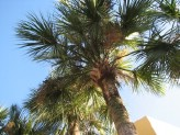 Sabal Palm (1)