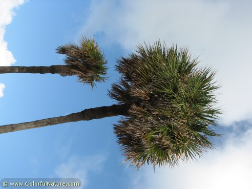 Sabal Palm (2)