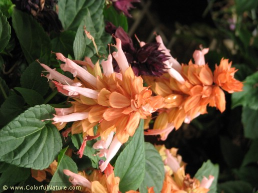 Salvia Splendens (Orange)
