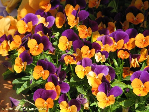 Viola Cornuta Hybrid (Purple-Orange)