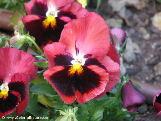 Viola Tricolor (Red-Brown)