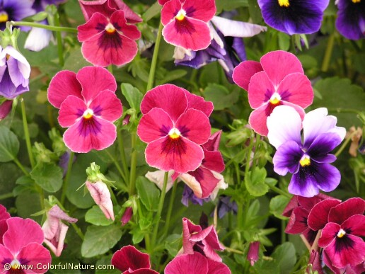 Viola Tricolor (Red-Purple)