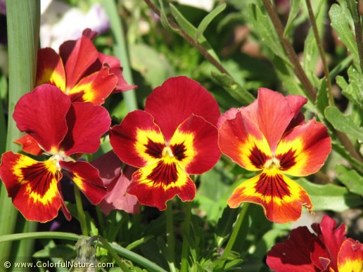 Viola Tricolor (Red-Yellow) (1)