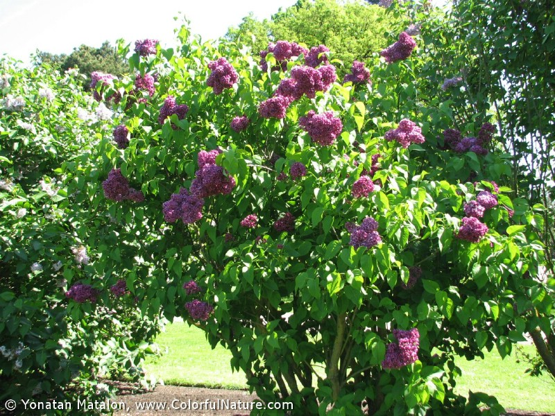 Colorful Nature Gt Spring Flowers Gt Syringa Vulgaris Etna