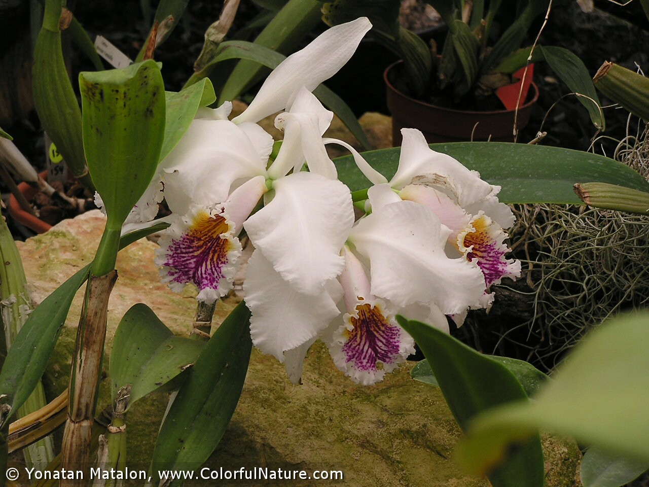 Laeliocattleya (White-Purple)