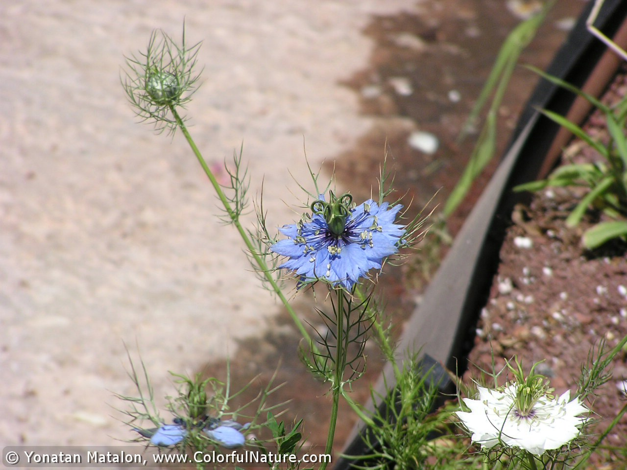 Nigella Damasce (Blue)