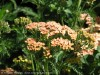 Achillea Millefolium (Orange)