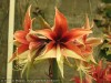 Amaryllis (Hippeastrum) Hybrids (Yellow-Red) (2)