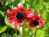 Anemone (Red-White) (3)