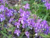 Angelonia Angustifolia (Purple)