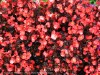 Begonia Semperflorens (Red) (1)